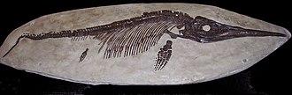 Dinosaurland Fossil Museum - Ichthyosaurus fossil exhibit