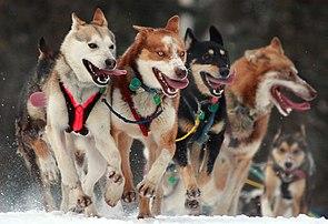 Schlittenhunde beim Start des Iditarod-Rennens