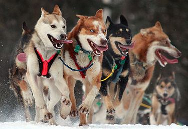 Собачья упряжка, Аляска