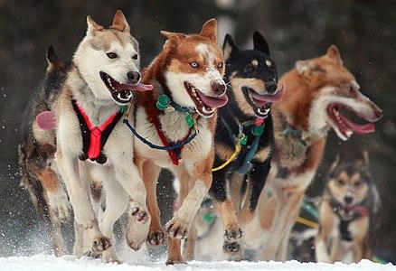 Ceremonial start of the Iditarod dog sled race