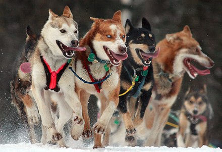 A dog team in the Iditarod Trail Sled Dog Race, arguably the most popular winter event in Alaska Iditarod Ceremonial start in Anchorage, Alaska.jpg