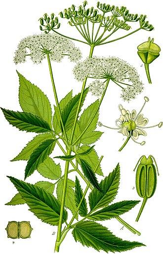 Aegopodium podagraria - Illustration from Otto Wilhelm Thomé's Flora von Deutschland, Österreich und der Schweiz (1885)