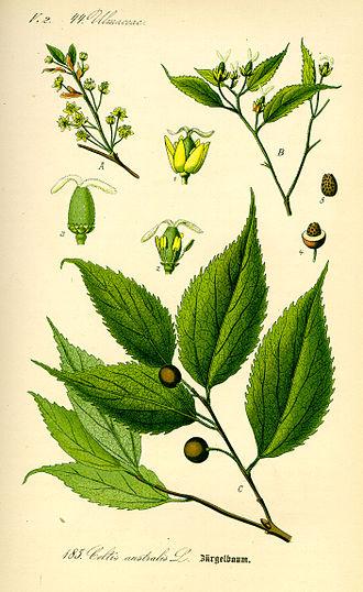 Celtis australis - Image: Illustration Celtis australis 0