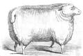 Illustrirte Zeitung (1843) 12 182 1 Leicester Schur-Widder des Herrn Pawlett.PNG