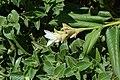 Indian Arrowroot, Kaas plateau 03.jpg