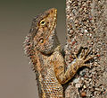 Indian Garden Lizard (Calotes versicolor) in AP W2 IMG 3186.jpg