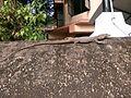 Indian Monitor Lizard Kerala.jpg