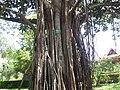 Indian Rubber Tree - ഇന്ത്യൻ റബ്ബർ മരം 01.JPG