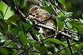 Indian palm squirrel eating a fruit in Sri Lanka.jpg