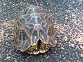 Indian star tortoise 2.jpg