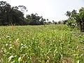 Inland valley rice cultivation around Bo, Sierra Leone - panoramio (3).jpg
