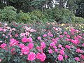 International Rose Test Garden in Portland, Ore. (2013) - 04.JPG