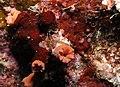 Invertebrates and algae at Paradise Reef, Red Sea, Egypt -SCUBA (6377759661).jpg