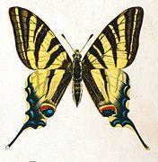 Iphiclides podalirius by Nemos.jpg