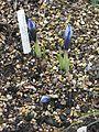 Iris Lady Beatrix Stanley - Flickr - peganum (1).jpg