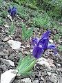 Iris pumila sl5.jpg