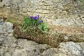 Irises - Caprarola, Italy - DSC02199.jpg