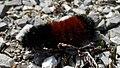 Isabella Tiger Moth (Pyrrharctia isabella), Larva - Long Point, Ontario.jpg