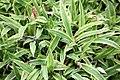 Island Brocade Carex siderosticha) (3577717614).jpg