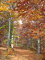 Jablanik - zapadna Srbija - mesto Debelo brdo - Na putu ka vrhu Jablanika - Bukova šuma u jesen 1.jpg