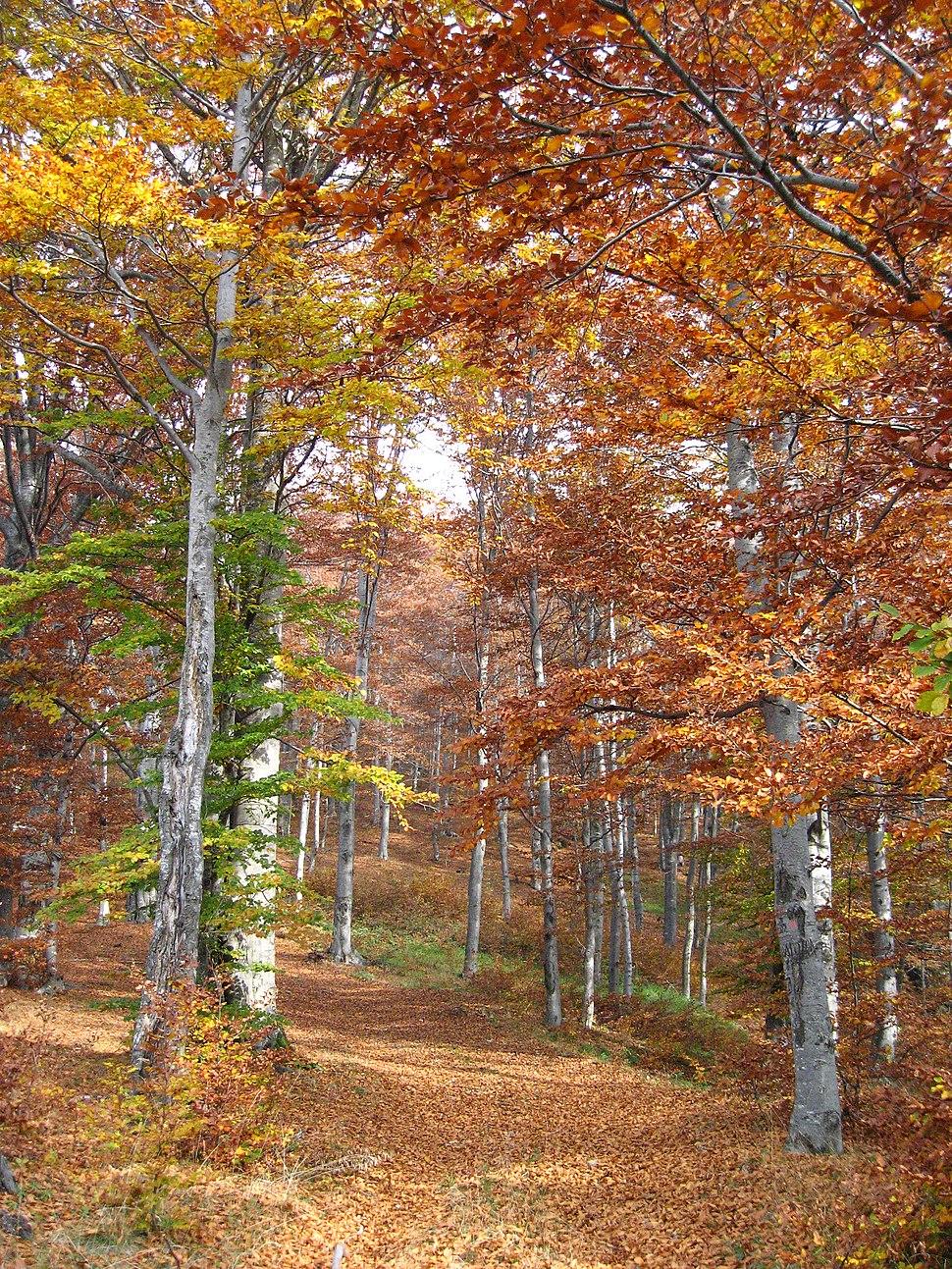 Jablanik - zapadna Srbija - mesto Debelo brdo - Na putu ka vrhu Jablanika - Bukova šuma u jesen 1