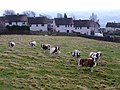 Jacob Sheep and 1950s council houses, Heddon on the Wall - geograph.org.uk - 1120967.jpg