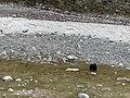 Jak, Mount Everest Base Camp, Tibet - panoramio (1).jpg