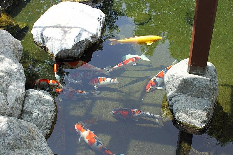 File japanese friendship garden path koi pond 1 jpg for Japanese friendship garden san jose koi fish