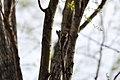 Japanese Pygmy Woodpecker - panoramio.jpg