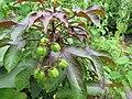 Jatropha gossypifolia - പേരറിയുമോ 01.jpg