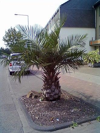 Jubaea - Image: Jubaea chilensis Leverkusen, Germany