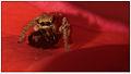Jumping spider by Dharani Prakash.jpg