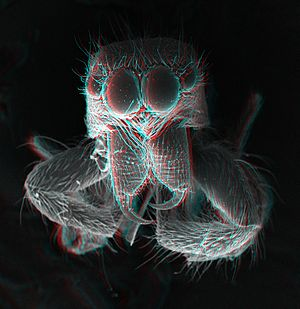 Chelicerae - 3D view of the chelicerae of a jumping spider. The pedipalps were removed to see the chelicerae.