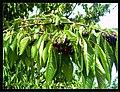 June Flower ^ Cherry Farming Endingen Kaiserstuhl - Master Seasons Rhine Valley Photography 2013 - panoramio (28).jpg