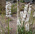 Junellia scoparia (8726585875).jpg