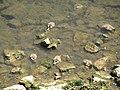 Junge Nilgänse an der Mosel.jpg