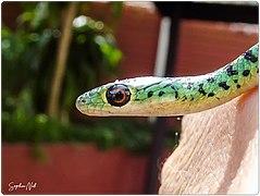 Juvenile Spotted Bush Snake - Harmless.jpg