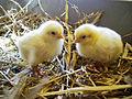 KAGfreiland Hühnervergleich 3.Tag.jpg