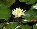 Kanapaha-2008 04 09-IMG 0195 1.JPG