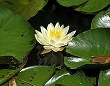 Nymphaea Alba At Kanapaha Botanical Gardens