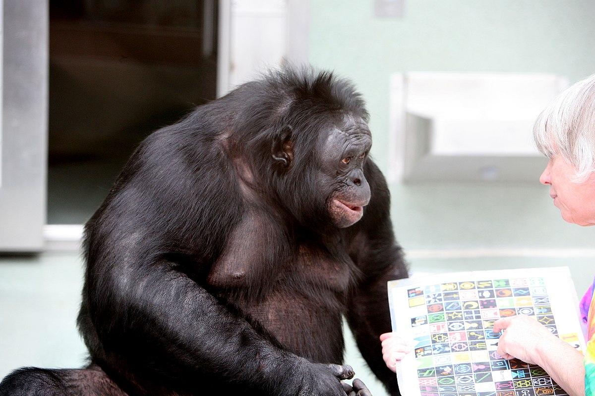 Скачать звуки шимпанзе