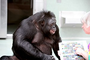"Kanzi - Kanzi, language-reared male bonobo, converses with Sue Savage-Rumbaugh in 2006 using a portable ""keyboard"" of arbitrary symbols that Kanzi associates with words."