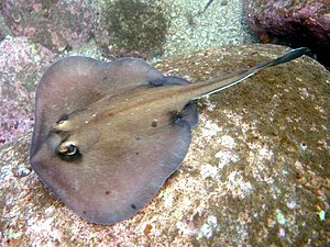 Urolophidae - The Kapala stingaree (U. kapalensis), one of several newly described urolophids