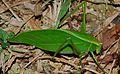 Katydid (Tettigoniidae) (8682862841).jpg