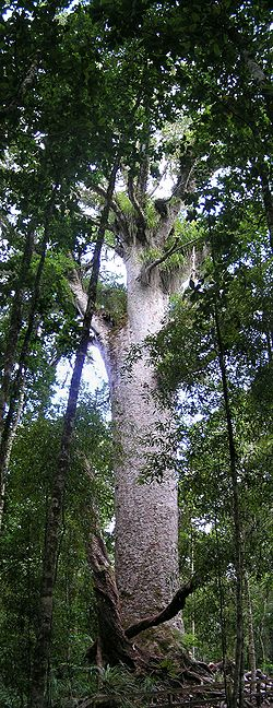 Kauri at Waipoua Forest.jpg