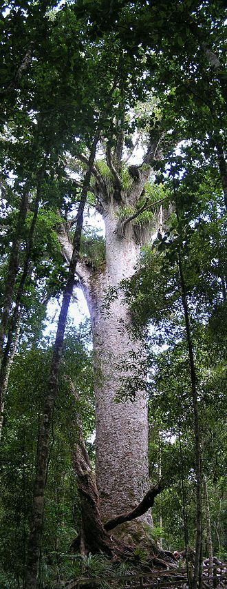 Kauri gum - Kauri tree in Waipoua Forest