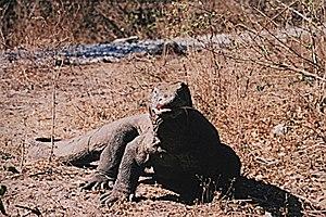 Komodo (island) - Komodo dragon
