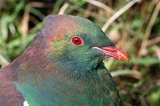 New Zealand pigeon - Closeup of head showing iridescent feather colours, Kapiti Island