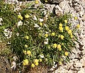 Kidney Vetch (Anthyllus vulnereria) - geograph.org.uk - 471746.jpg