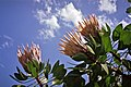 King Protea (ORC1205).jpg